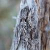 Vijoklinis sfinksas - Agrius convolvuli | Fotografijos autorius : Zita Gasiūnaitė | © Macrogamta.lt | Šis tinklapis priklauso bendruomenei kuri domisi makro fotografija ir fotografuoja gyvąjį makro pasaulį.