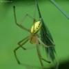 Paprastasis pinkliavoris - Enoplognatha ovata | Fotografijos autorius : Vidas Brazauskas | © Macrogamta.lt | Šis tinklapis priklauso bendruomenei kuri domisi makro fotografija ir fotografuoja gyvąjį makro pasaulį.