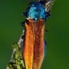 Siaurablizgis - Agrilus subauratus ???   Fotografijos autorius : Lukas Jonaitis   © Macrogamta.lt   Šis tinklapis priklauso bendruomenei kuri domisi makro fotografija ir fotografuoja gyvąjį makro pasaulį.