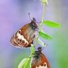 Krūminis satyriukas - Coenonympha arcania    Fotografijos autorius : Lukas Jonaitis   © Macrogamta.lt   Šis tinklapis priklauso bendruomenei kuri domisi makro fotografija ir fotografuoja gyvąjį makro pasaulį.