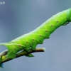 Akiuotasis sfinksas - Smerinthus ocellata (Vikšras)    Fotografijos autorius : Lukas Jonaitis   © Macrogamta.lt   Šis tinklapis priklauso bendruomenei kuri domisi makro fotografija ir fotografuoja gyvąjį makro pasaulį.