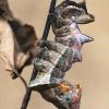 Gelsvasis kuoduotis - Notodonta ziczac, vikšras    Fotografijos autorius : Lukas Jonaitis   © Macrogamta.lt   Šis tinklapis priklauso bendruomenei kuri domisi makro fotografija ir fotografuoja gyvąjį makro pasaulį.