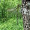 Žaliasis laumžirgis - Aeshna viridis, patinas   Fotografijos autorius : Giedrius Švitra   © Macrogamta.lt   Šis tinklapis priklauso bendruomenei kuri domisi makro fotografija ir fotografuoja gyvąjį makro pasaulį.