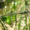 Elegantiškoji strėliukė - Ischnura elegans, patinas   Fotografijos autorius : Giedrius Švitra   © Macrogamta.lt   Šis tinklapis priklauso bendruomenei kuri domisi makro fotografija ir fotografuoja gyvąjį makro pasaulį.